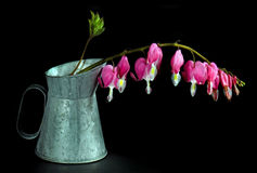 Hanging bleeding heart blossoms Royalty Free Stock Images