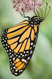 Dangling Monarch Royalty Free Stock Photos