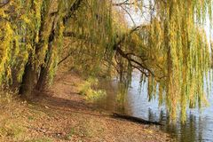 Dangling over water branches of pussy-willow royalty free stock photography