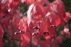 Dangling red seed pods of the Spindle tree Royalty Free Stock Photo