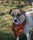 Dani der Steckfassungsrussel-Terrier Stockbild