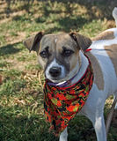Dani the jack russel terrier. Our jack russel terrier dani in halloween gear Stock Image