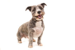 Danidie Dinmount dog. Picture of a Danidie Dinmount dog looking at the camera on a white background royalty free stock photography