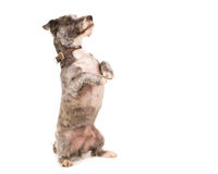 Danidie Dinmount dog. Picture of a Danidie Dinmount dog looking at the camera on a white background stock images