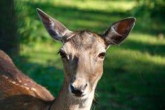 Daniel deer animal portrait, Dama dama stock photography