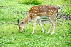 Daniel deer eats green grass, Dama dama Royalty Free Stock Photos