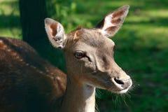 Daniel jeleni zwierzęcy portret, Dama dama Zdjęcia Stock
