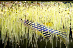 Danio in Duckweeds Royalty Free Stock Photography
