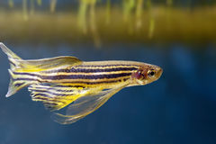 Danio rerio Royalty Free Stock Photos