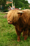 Danish cattle Royalty Free Stock Images