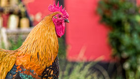 Danish Country Hen Rooster Royalty Free Stock Photo