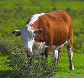 Danish cow in field Stock Images