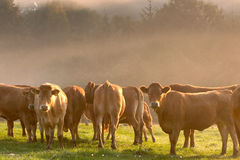 Danish cows 01. Cows staring at the photographer royalty free stock photo