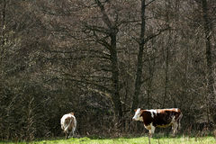 Danish cows Stock Photo