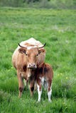Danish cows Royalty Free Stock Photography