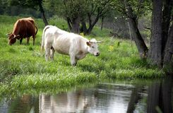 Danish cows. Cows at the lake in a danish landscape Stock Photos
