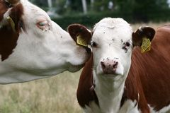 Danish cows Royalty Free Stock Photo