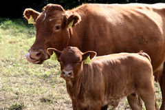 Danish cows Stock Image