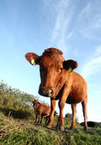 Danish cows Stock Images