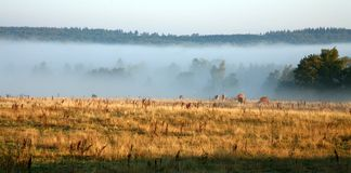 Danish cows in the fog Royalty Free Stock Photos