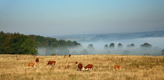 Danish cows in the fog Stock Image