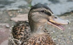 Danish duck. Close up view of a duck with some fluff on its beak. Mouth open Royalty Free Stock Photos