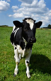 Danish healthy cow outside on a green lawn with a beautiful sky. stock photography