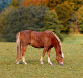 Danish horse Royalty Free Stock Images