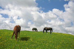 Danish horses Stock Images