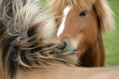 Danish horses Stock Photo