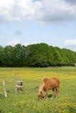 Danish horses Royalty Free Stock Photos