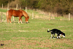 Danish horses. On a field in the summer with a dog Stock Photo
