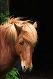Danish horses. Portrait Stock Photos