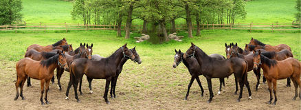 Danish horses. On a field in the summer (double picture Stock Photo
