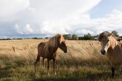 Danish horses Stock Photo