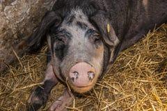 Danish Landrace Pig Royalty Free Stock Image