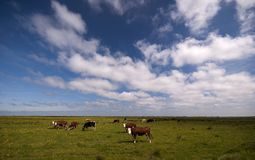 Danish marsh and cows Stock Images