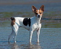 Danish Swedish farm dog. On the water Stock Photo