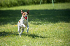 Danish Swedish Farmdog. Playing fetch with a ball. This breed, which originates from Denmark and southern Sweden is lively and friendly Royalty Free Stock Photos