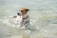 Danish-Swedish Farmdog Royalty Free Stock Image