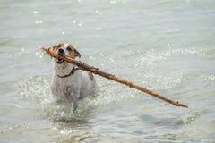 Danish-Swedish Farmdog Royalty Free Stock Images
