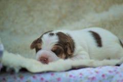 Danish-swedish farmdog puppy. Aamos Royalty Free Stock Photos