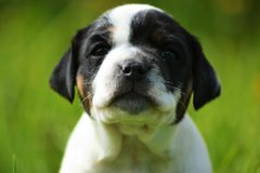 Danish-swedish farmdog puppy. Alissa Royalty Free Stock Photography