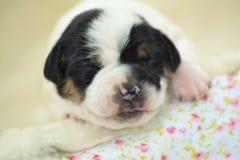 Danish-swedish farmdog puppy. Four Danish-swedish farmdog puppy Alissa Royalty Free Stock Photos