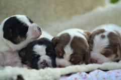Danish-swedish farmdog puppy. Four Danish-swedish farmdog puppies Royalty Free Stock Photography