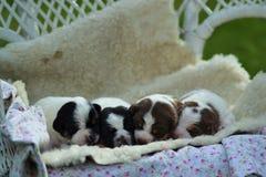 Danish-swedish farmdog puppy. Four Danish-swedish farmdog puppies Royalty Free Stock Photos