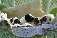 Danish-swedish farmdog puppy. Four Danish-swedish farmdog puppies Royalty Free Stock Image