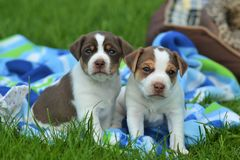 Danish-swedish farmdog puppy. Two Danish-swedish farmdog puppies Aamos and Amalia Stock Photography