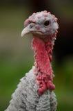 Dankzegging Turkije Stock Fotografie