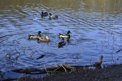 Danmark odense skovsøen vand natur Royalty Free Stock Photo